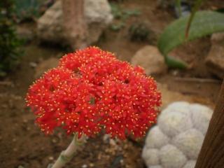 Serre aux cactus de Roscoff Photo954