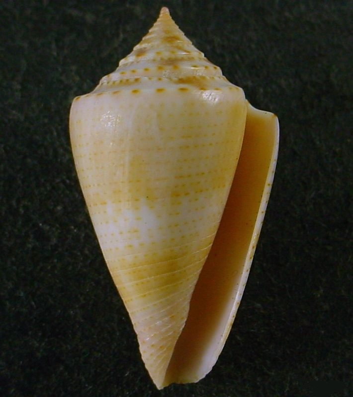 Conasprella (Ximeniconus) ericmonnieri (Petuch & R. F. Myers, 2014) 2daae310