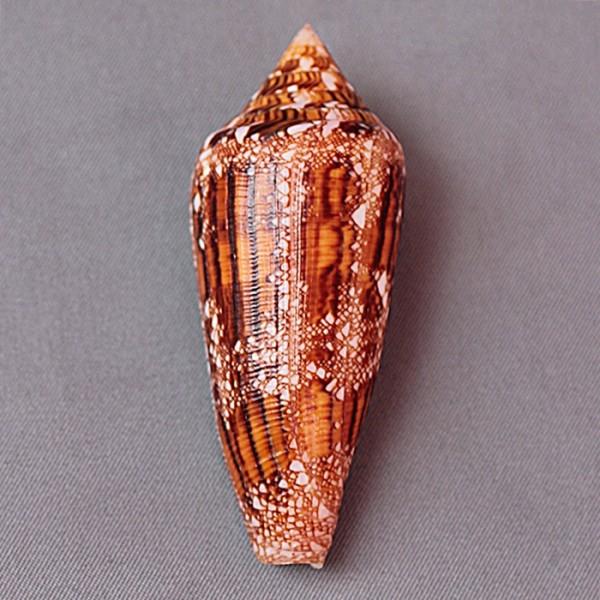 Conus (Cylinder) aureus paulucciae   GB Sowerby III, 1887 3443-110