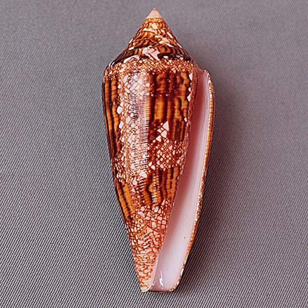 Conus (Cylinder) aureus paulucciae   GB Sowerby III, 1887 3443-111