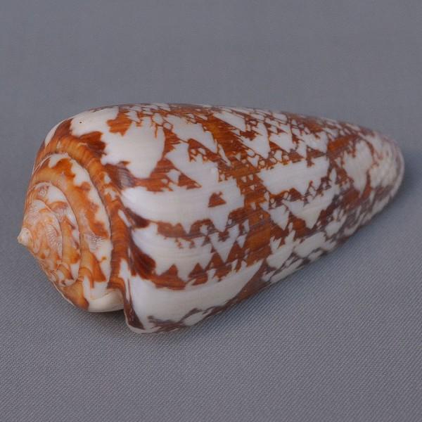 Conus (Leptoconus) natalis gilchristi GB Sowerby III, 1903 voir Conus (Leptoconus) natalis GB Sowerby II, 1858 3641-112
