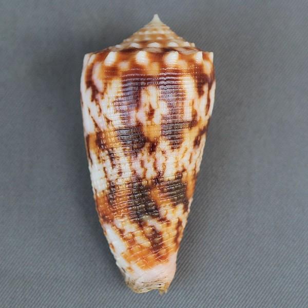 Conus (Phasmoconus) moluccensis   Küster, 1838 4195-110