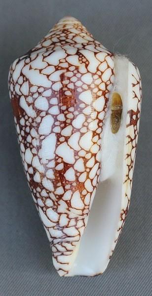 Conus (Darioconus) pennaceus   Born, 1778 - Page 2 4290-112