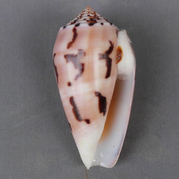 Conus (Pionoconus) striatus chusaki (da Motta 1978) voir Conus (Pio.) striatus 4665-111