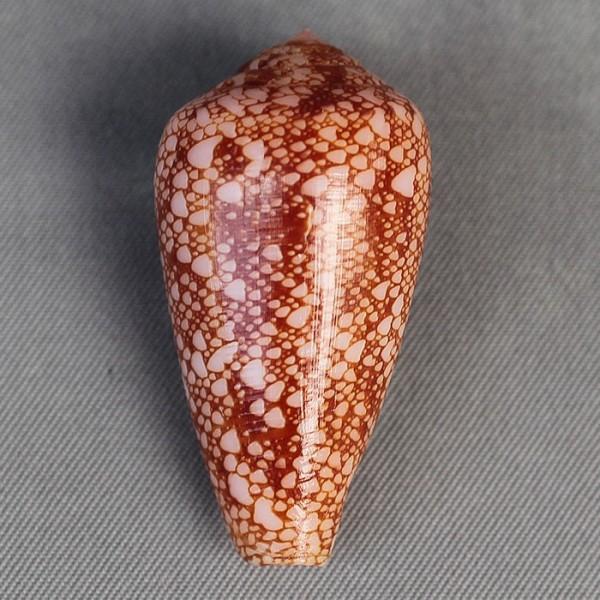 Conus (Darioconus) pennaceus rubropennatus  da Motta, 1982 voir Conus (Darioconus) pennaceus Born, 1778  6580-210