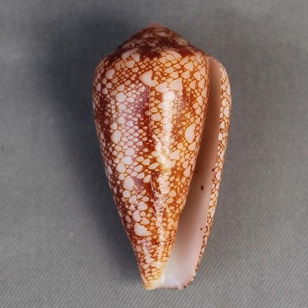 Conus (Darioconus) pennaceus rubropennatus  da Motta, 1982 voir Conus (Darioconus) pennaceus Born, 1778  6580-211