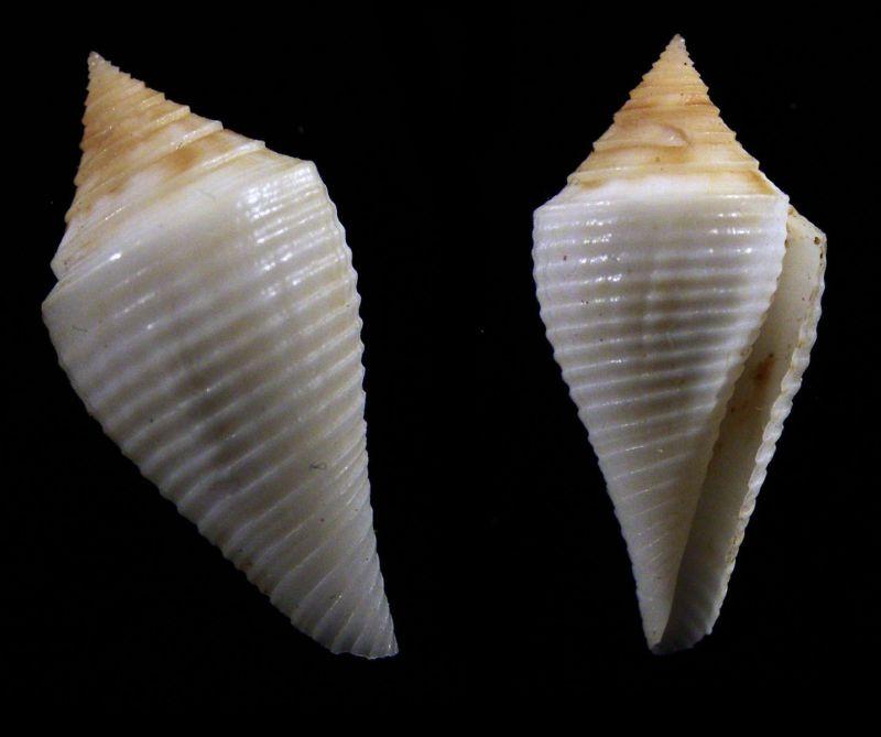 Conus (Dauciconus) cancellatus    Hwass in Bruguière, 1792 _31_1010