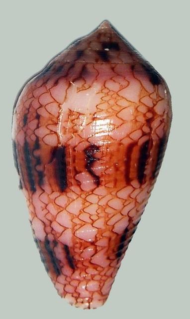 Conus (Cylinder) retifer   Menke, 1829 - Page 2 _571_119
