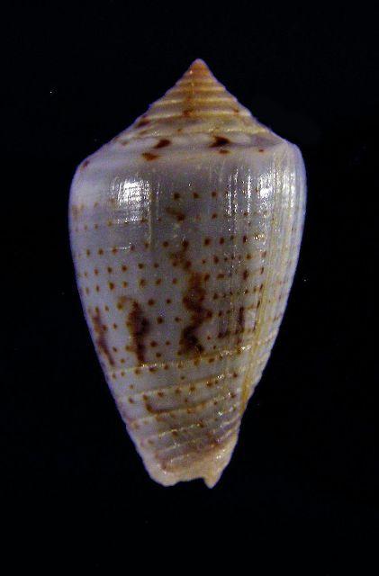Conasprella (Ximeniconus) puncticulata cardonensis (Vink, 1990) _571_123