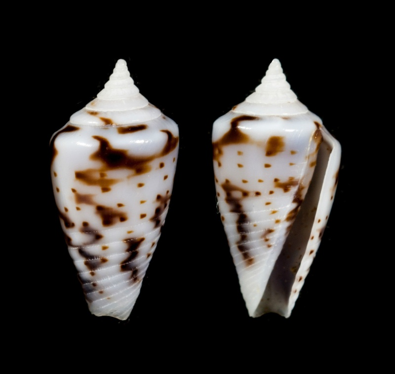 Conasprella (Ximeniconus) wendrosi (Tenorio & Afonso, 2013) - Page 2 _571_311