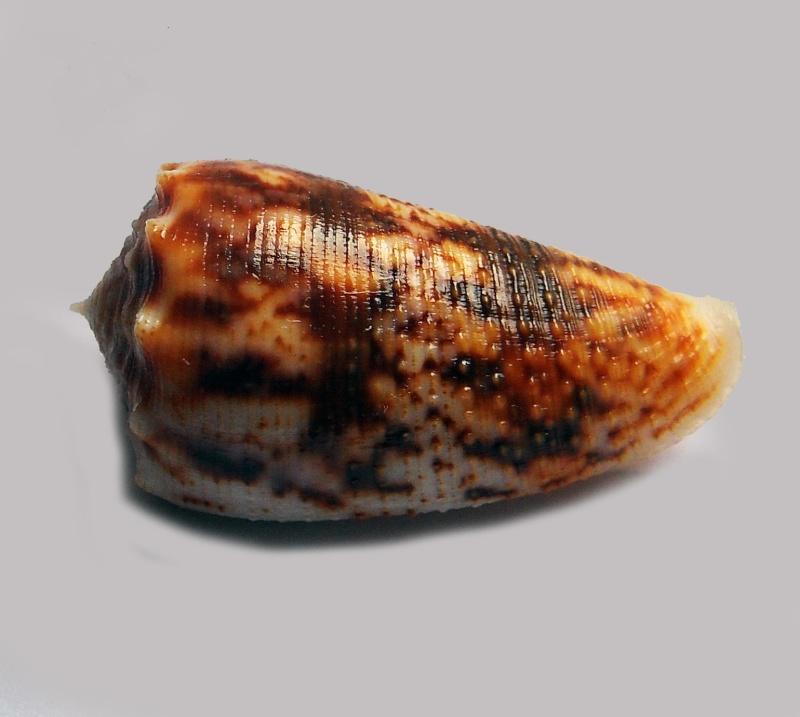 Conus (Phasmoconus) stainforthii (Reeve, 1843)voir Conus (Ph) moluccensis _571_610
