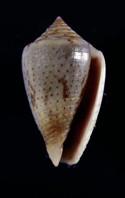 Conasprella (Ximeniconus) puncticulata cardonensis (Vink, 1990) _572_110