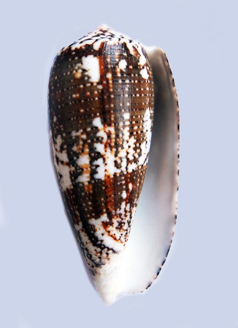 Conus (Pionoconus) magus assimilis Adams, 1855 voir Conus (Pionoconus) magus - Page 2 _572_610