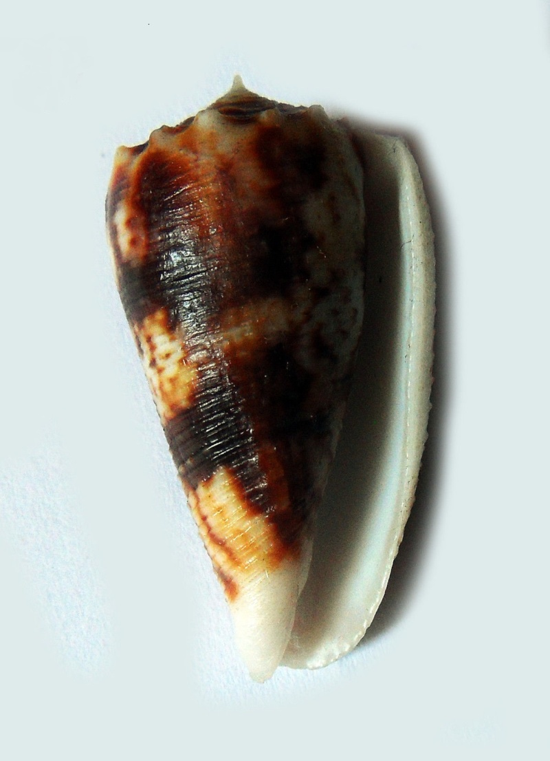 Conus (Phasmoconus) stainforthii (Reeve, 1843)voir Conus (Ph) moluccensis _573_210