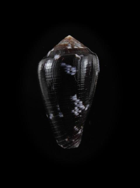 Conus (Pionoconus) catus fuscoolivaceus  Dautzenberg, 1937 Catus_10