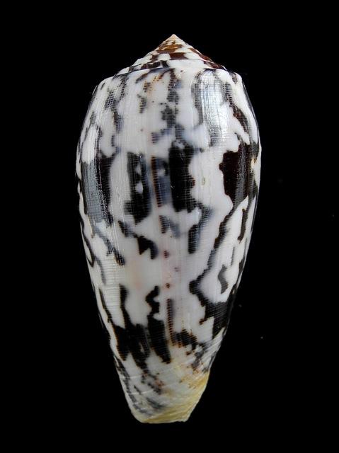 Conus (Pionoconus) striatus   (Linnaeus, 1758)  - Page 5 Conus_15