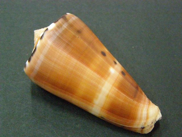 Conus (Pionoconus) barthelemyi  Bernardi, 1861 - Page 6 P6030010