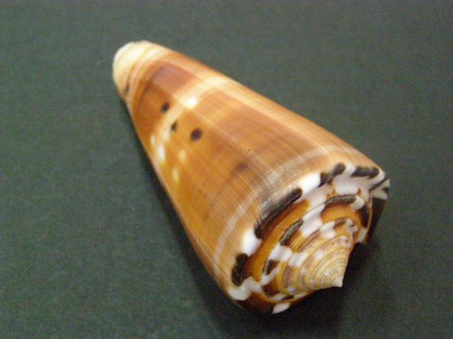 Conus (Pionoconus) barthelemyi  Bernardi, 1861 - Page 6 P6030012
