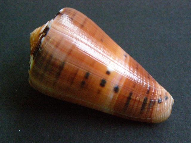 Conus (Pionoconus) barthelemyi  Bernardi, 1861 - Page 6 P7160910