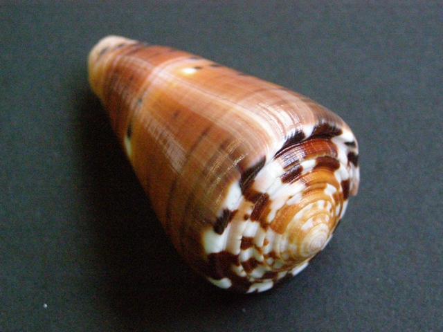 Conus (Pionoconus) barthelemyi  Bernardi, 1861 - Page 6 P7160912