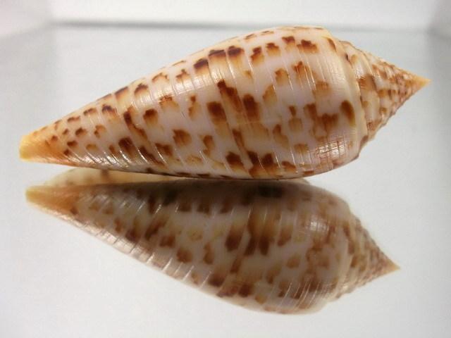 Conus (Phasmoconus) pretiosus  G. Nevill & H. Nevill, 1874 T2ec1612
