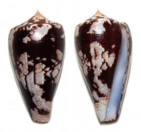 Conus (Pionoconus) fischoederi   Röckel & da Motta, 1983 Ts115210