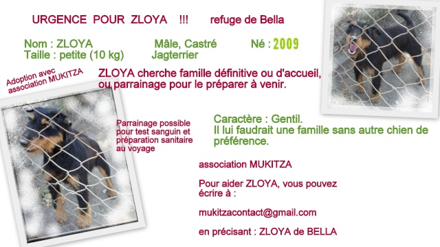 ZLOYA, M-Type Jagterrier, né 2009, 10 kg, aveugle (BELLA) - En FA chez Corinne91(départ91) Zloya_11