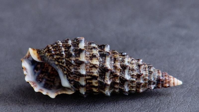 Cerithium vulgatum - Bruguière, 1792 Carith10