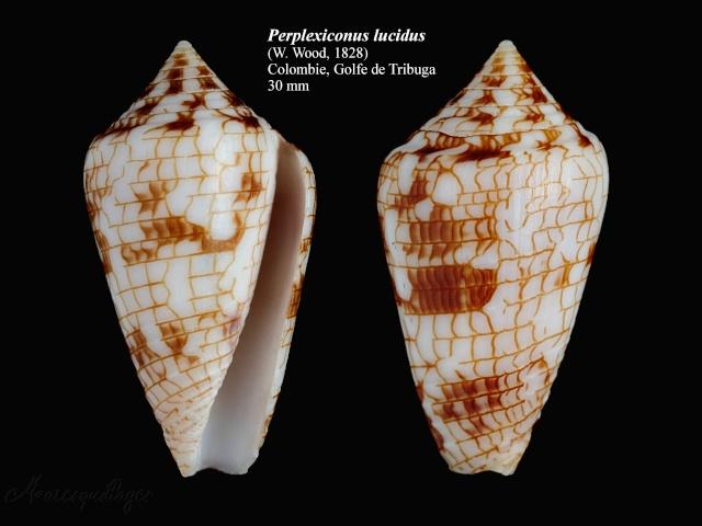 Ximeniconus (Perplexiconus) lucidus (Wood, 1828) Conus_10