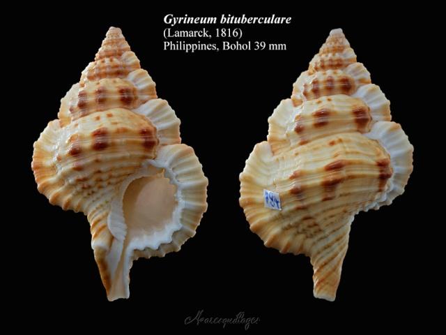 Cymatiidae Gyrineum bituberculare - (Lamarck, 1816)  Gyrine10