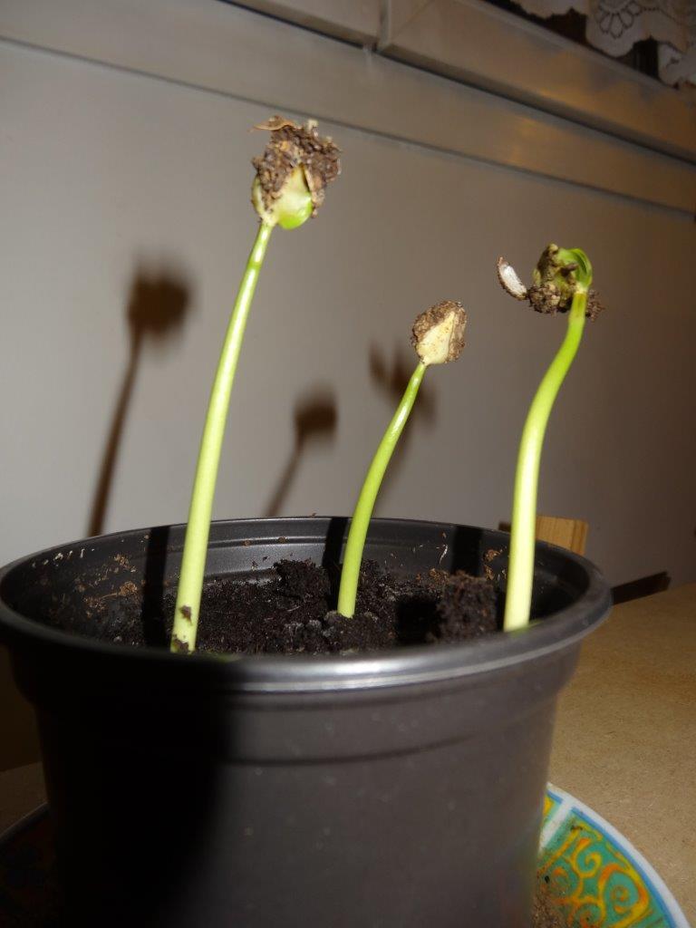 Semis jatropha podagrica Dsc00411