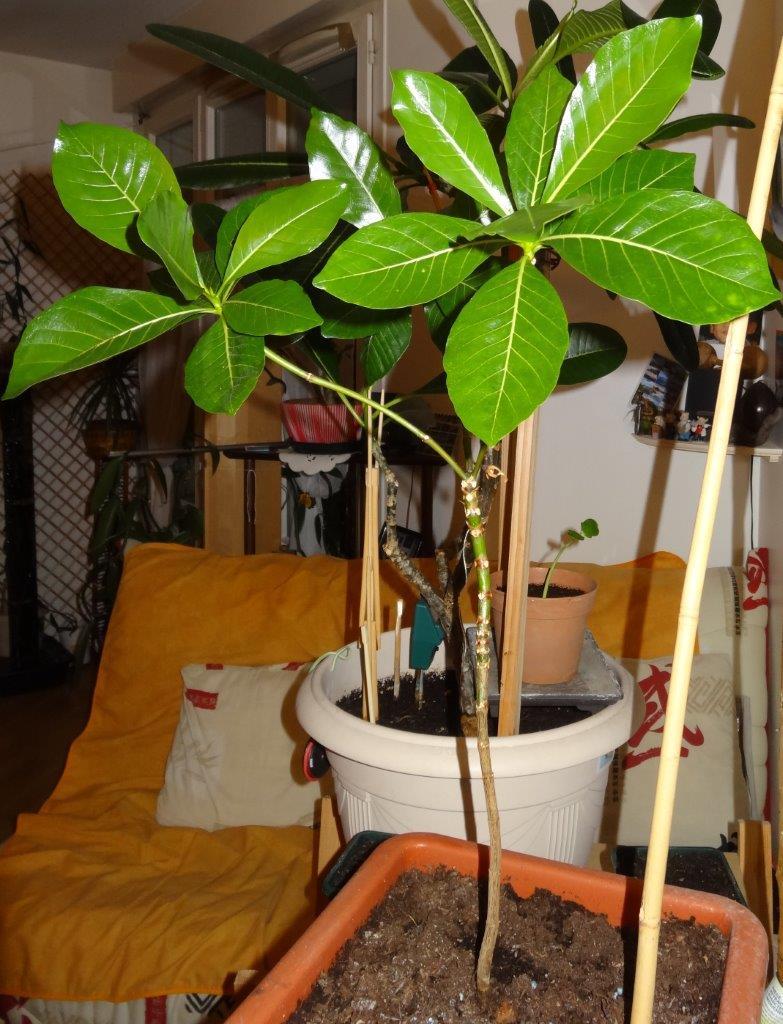 gardenia tahitensis - Page 11 Dsc00413