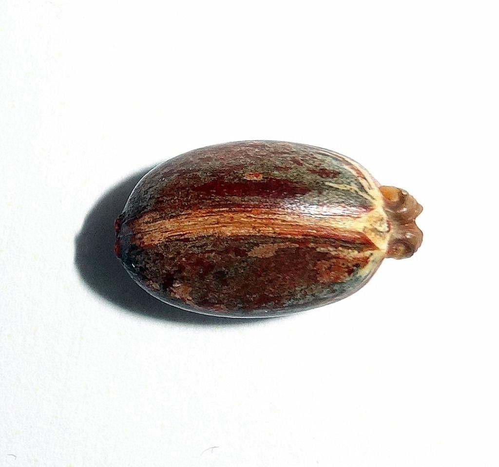 Semis jatropha podagrica Dsc00416