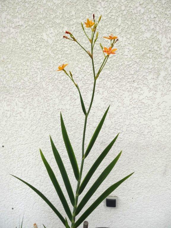 Ce n'est pas une tropicale mais elle est jolie : Belamcanda chinensis Dsc00417
