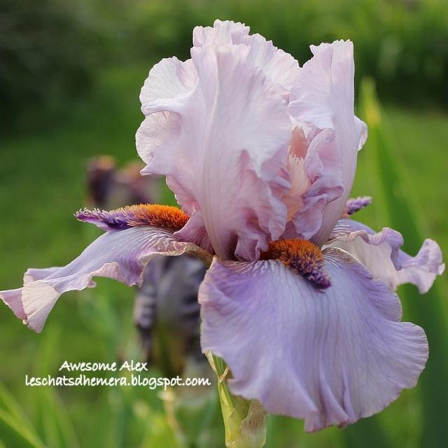 Iris a eperons  Awesom10