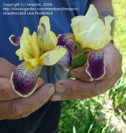Floraison de nos iris barbus saison 2014 - Page 5 C31c2910