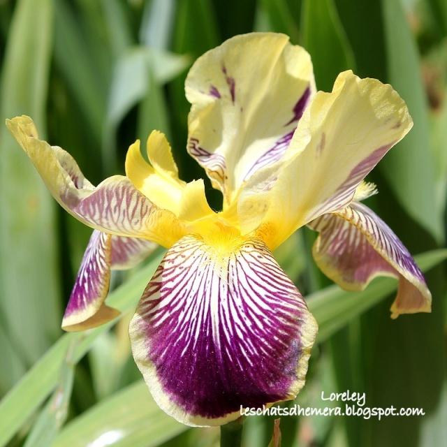 Floraison de nos iris barbus saison 2014 - Page 5 Lorele11