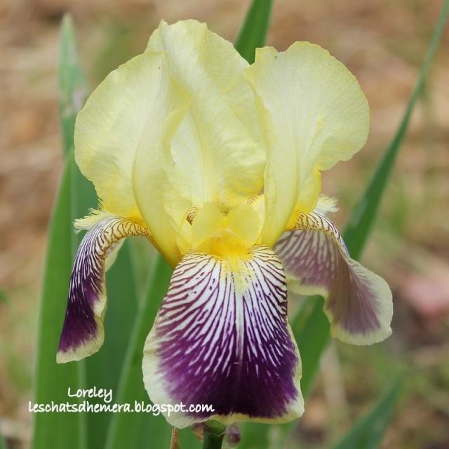 Floraison de nos iris barbus saison 2014 - Page 5 Lorele12