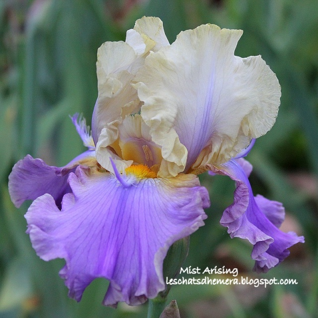 Iris a eperons  Mist_a10