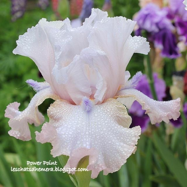 Iris a eperons  Power_10