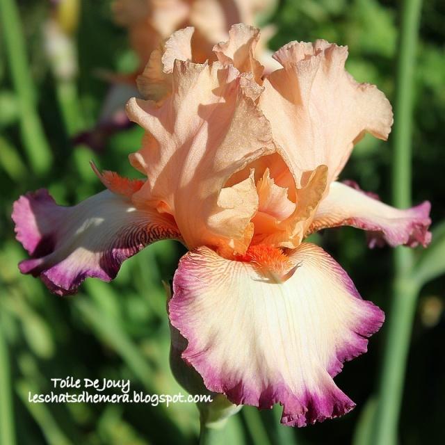 Iris a eperons  Toile_10