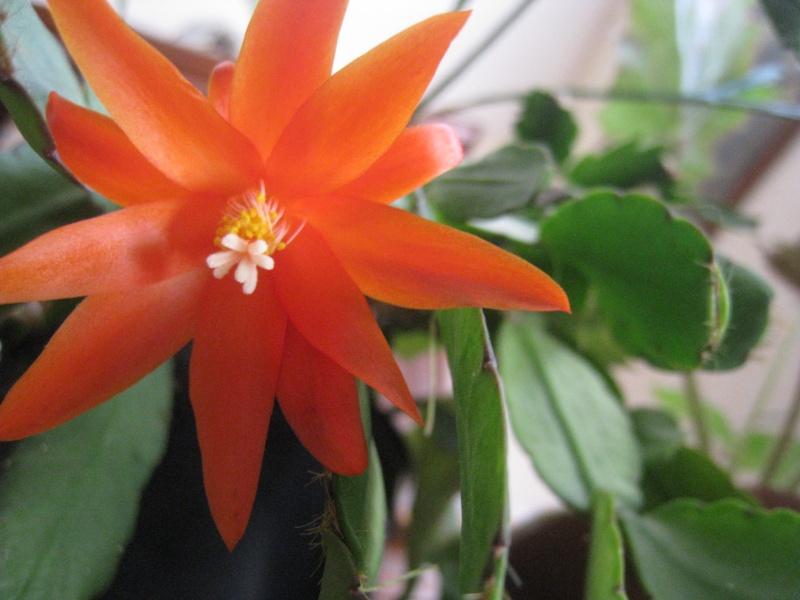 fleur de Rhipsalidopsis (corrigé) 00210