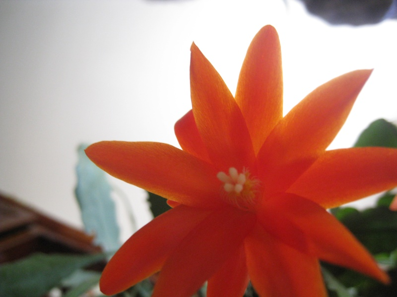fleur de Rhipsalidopsis (corrigé) 00510