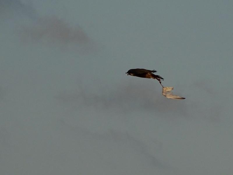Jeune faucon pèlerin 16510