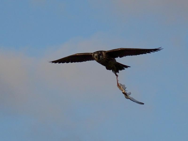 Jeune faucon pèlerin 16610