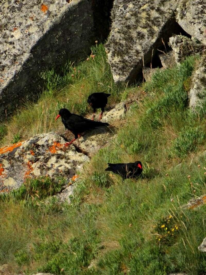 Suivi 2014 du Crave à bec rouge (Pyrrhocorax pyrrhocorax) en Bretagne 44710