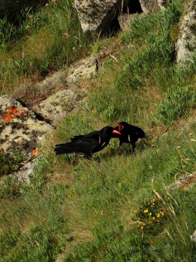 Suivi 2014 du Crave à bec rouge (Pyrrhocorax pyrrhocorax) en Bretagne 45310