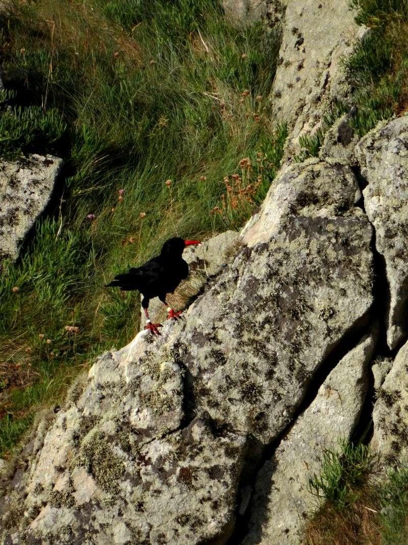 Suivi 2014 du Crave à bec rouge (Pyrrhocorax pyrrhocorax) en Bretagne 46310