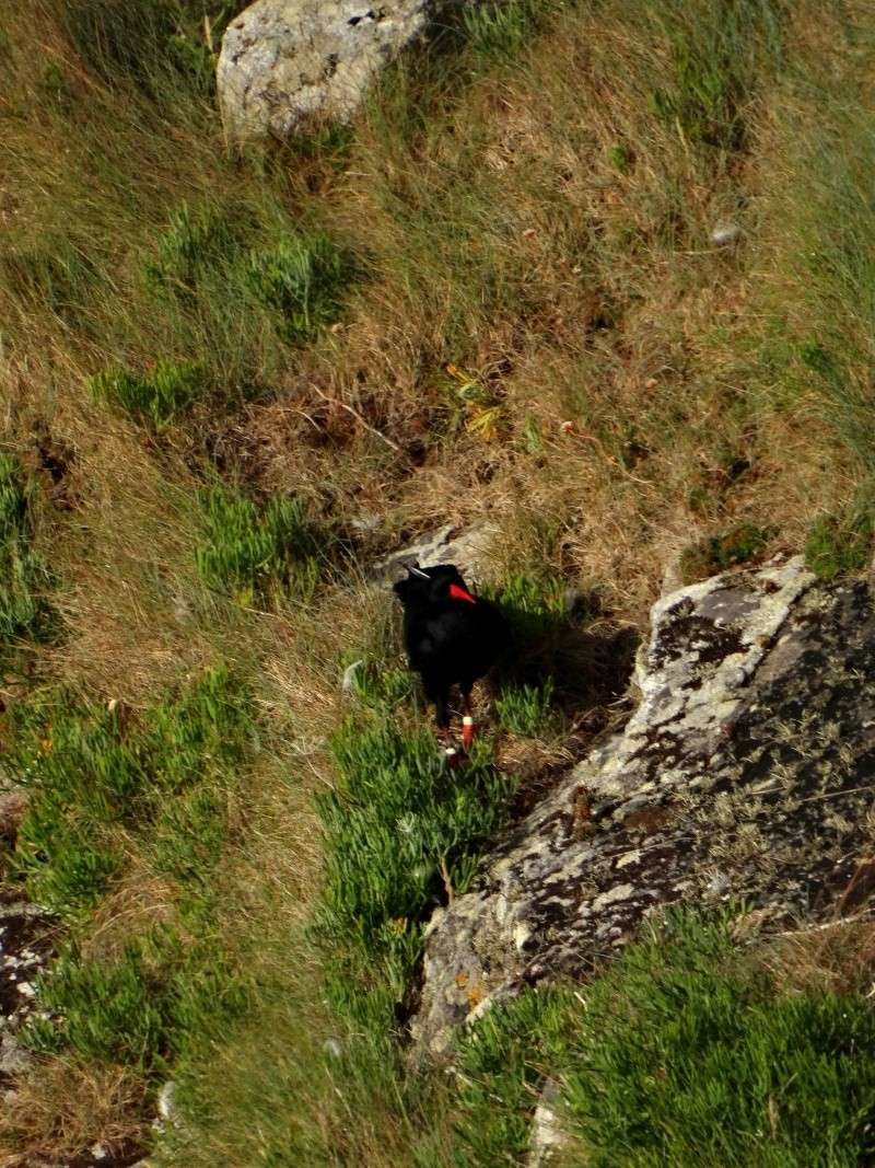 Suivi 2014 du Crave à bec rouge (Pyrrhocorax pyrrhocorax) en Bretagne 47310