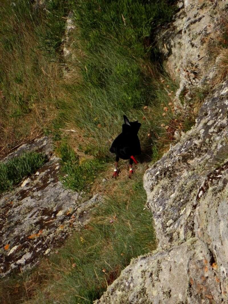 Suivi 2014 du Crave à bec rouge (Pyrrhocorax pyrrhocorax) en Bretagne 47410